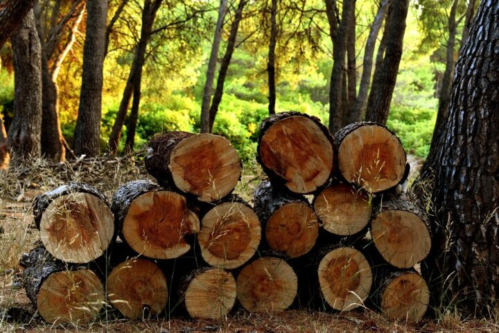 newly harvested timber